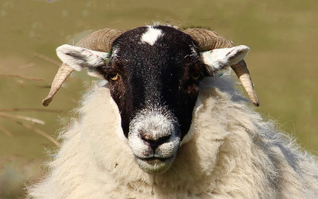 Baa Baa 'Blackface' sheep, have you any wool?